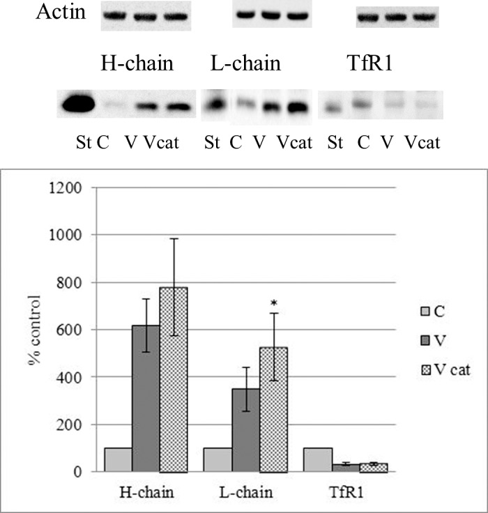 Effects of treatment of LEC with vitreous humor collected from dogs 7 to 10 years old with (Vcat) or without (V) age-related cataract on expression of ferritin chains and TfR1. LEC were treated with 33% vitreous humor in DMEM containing 10% FBS for 96 hours. Cells nontreated with vitreous humors were used as controls (C). Cell lysates containing 35 to 50 μg protein were separated by 12% SDS-PAGE, under reducing conditions, using a Tris/Tricine buffer system and transferred to nitrocellulose membranes. Purified canine heart ferritin was used as standard (St) for ferritin chains, and purified human placenta TfR1 was used as a standard (St) for canine TfR1. After Western transfer to a nitrocellulose membrane, ferritin chains were immunodetected with canine chain–specific custom-made antibodies. TfR1 was immunodetected with monoclonal mouse anti-human TfR1 antibodies. Blots were reprobed with HRP-goat anti-human β-actin as a loading control and evaluated with ChemiDoc MP Imaging System. The significance of differences was determined by paired t -test. Data represent the mean ± SEM; n = 7; statistically different from corresponding V, * P
