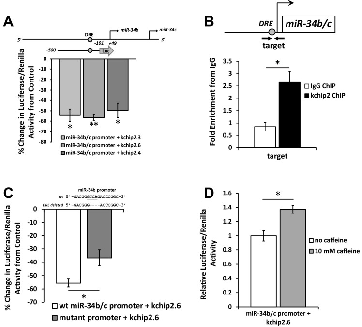 KChIP2 represses miR-34b/c expression by direct interaction with a putative DRE motif in promoter. ( A ) A region from −500 to −191 of the miR-34b/c promoter was cloned into the promoterless luciferase construct, pGL4.10. This construct was co-transfected into COS-7 cells in the presence of KChIP2.3 (n = 3), KChIP2.6 (n = 8), or KChIP2.3 (n = 3) and compared to GFP alone. Renillin (pGL4.74) was used as a normalization control. Results are depicted as a % change in activity compared to GFP alone. ( B ) IgG and KChIP2 ChIP-PCR conducted on native adult rat cardiomyocytes. The target primer site residing within the cloned promoter was evaluated for enrichment following pull down (n = 3), showing significant enrichment of the target region. ( C ) Luciferase assay conducted in COS-7 cells to evaluate the outcome of deleting the putative DRE site in the miR-34b/c promoter. COS-7 cells were transfected with the same WT reporter construct inserted into the pGL4.10 vector or with the DRE motif deleted, both in the presence of KChIP2.6. Activity was normalized to renillin (pGL4.74). Deletion of a putative KChIP2 interaction site (DRE motif) partially abolished the repressive effect KChIP2.6 had over the miR-34b/c promoter (n = 4) compared to WT (n = 9). ( D ) COS-7 cells transfected with KChIP2.6 and the pGL4.10 containing the WT miR-34b/c promoter were treated with or without 10 mM caffeine for 6 hr, leading to promoter activation (n = 4). Results were normalized to renillin activity. Data presented as mean ± SEM. *p