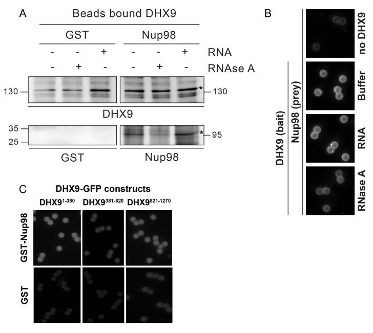 In vitro interaction of Nup98 and DHX9. ( A ) Anti-DHX9 antibodies coupled to beads were used to immobilize recombinant DHX9. Bead-bound DHX9 was then incubated with recombinant Nup98 or GST in the presence or absence of RNA (poly I:C), RNase A, or buffer alone. Bound proteins were analyzed by Western blots using the indicated antibodies (below images). The top row of panels shows the DHX9 bait bound to beads. The bottom row of panels shows GST and Nup98 that bound to DHX9 under the indicated conditions. Asterisks denote positions of DHX9 and Nup98. The positions of molecular mass markers (shown in kDa) are indicated on the left and right. ( B ) Example images of bead-bound complexes used for the quantification shown in   Figure 6C . ( C ) Example images of bead-bound complexes used for the quantification shown in   Figure 6D . DOI: http://dx.doi.org/10.7554/eLife.18825.014