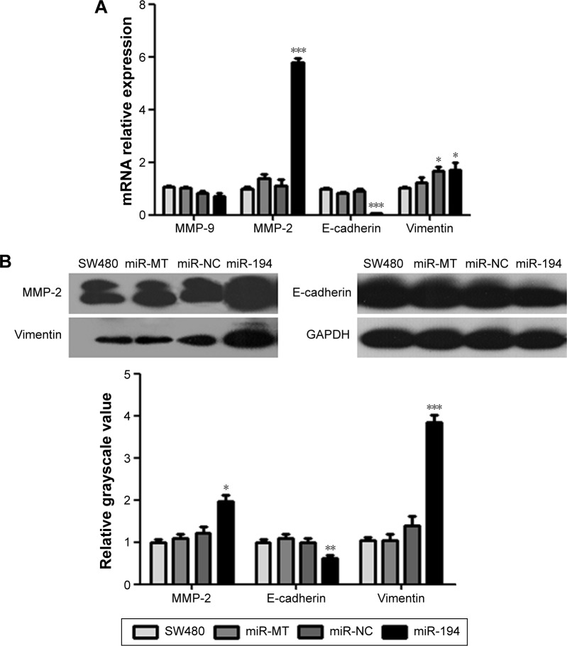 The auxo-action of miR-194 on the EMT of CRC cells. Notes: qRT-PCR ( A ) and Western blot ( B ) were performed to examine the effects of miR-194 overexpression on EMT markers (MMP-2, MMP-9, E-cadherin, and vimentin). * P
