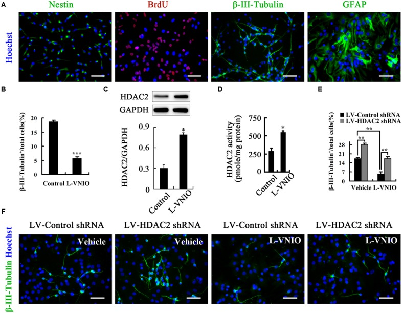HDAC2 mediates the role of nNOS in regulating the fate of adult NSCs. (A) Identification of cultured adult NSCs. Single-cell suspensions were seeded on polyornithine/laminin-coated coverslips, cultured as a monolayer for 24 h, and then fixed for nestin staining. At least 92% cells were nestin + NSCs. In addition, cells were monolayer-cultured in the presence of 10 μM BrdU for 24 h and fixed for stain, and most cells were BrdU + labeled. These cells could differentiate into β-III-Tubulin + neurons and GFAP + astrocytes after differentiation for 4 days. (B) Monolayer-cultured adult NSCs treated with 100 μM L-VNIO during the later 2 days of 4-day differentiation exhibit a marked decrease of neuronal differentiation. Immunoblots showing HDAC2 levels (C) and bar graph showing HDAC2 activity (D) in cultures treated with 100 μM L-VNIO or vehicle for the first 24 h during differentiation. (E,F) HDAC2 down-regulation rescues L-VNIO-induced neuronal differentiation reduction. 100 μM L-VNIO or vehicle was treated for the later 2 days during the 4-day differentiation of LV-HDAC2 shRNA- or LV-Control shRNA-infected adult NSCs. (E) Bar graph showing the percentage of newborn neurons. (F) Representatives of β-III-Tubulin + neurons. Scale bars = 50 μm. Data are mean ± SEM ( n = 3); ∗ p