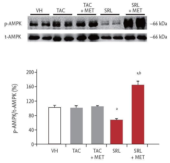 Effects of metformin (MET) on the expression of adenosine monophosphate-activated protein kinase (AMPK) during treatment with tacrolimus (TAC) or sirolimus (SRL). Representative immunoblot of phosphorylated (p-AMPK) and total AMPK (t-AMPK) in primary cultured rat islets treated with TAC or SRL with or without MET. The results of quantitative analysis are expressed as a ratio of p-AMPK to t-AMPK. The density in the vehicle group (VH) was assigned a relative value of 100%. The results are expressed as the mean ± SE of at least three independent experiments. a p