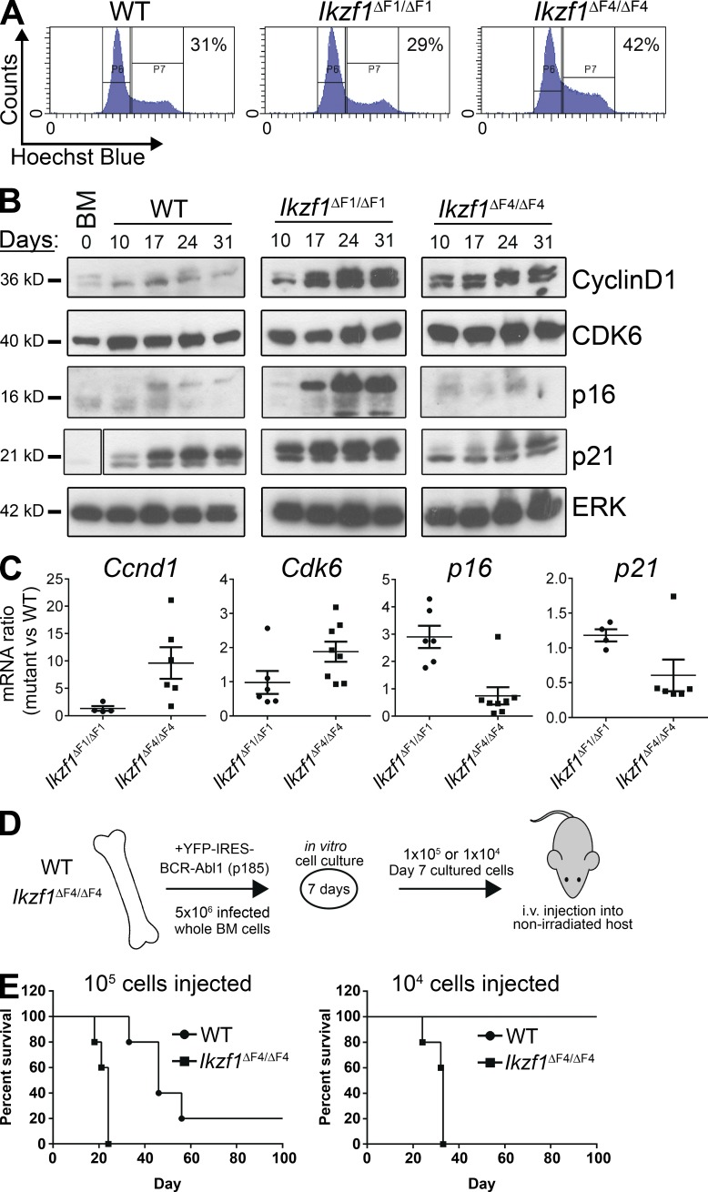 Loss of Ikaros tumor suppression in Ikzf1 ΔF4/ΔF4 mutant mice results in an increase in active cell cycle and aggressive leukemia in a nonirradiated in vivo model . (A–C) BM from WT, Ikzf1 ΔF1/ΔF1 , and Ikzf1 ΔF4/ΔF4 mutant mice were transduced with BCR-ABL1-p185-IRES-YFP and grown in vitro on BM stroma–derived feeder layers. (A) Cell cycle flow cytometry analysis was performed by Hoechst incorporation, and one representative experiment (at day 14 of cell culture) is shown. (B) Cells were harvested on different days of in vitro cell culture and protein was extracted for Western blot analysis of Cyclin D1, Cdk6, p16, and p21, with ERK as loading control. Space indicates that intervening lanes have been spliced out. (C) RNA was isolated from the in vitro cultures, cDNA was prepared, and mRNA for Ccnd1 , Cdk6 , p16 , and p21 was analyzed by quantitative real-time PCR. Ubc was used as a reference gene. (D) Schematic of the experimental set up for the in vivo transplantation assay. BM cells from WT and Ikzf1 ΔF4/ΔF4 mutant mice were transduced and cultured in vitro as in A–C for 7 d before i.v. injection into nonirradiated immunocompetent WT c57BL/6 recipient mice. Animals were monitored and euthanized upon signs of leukemia development. (E) Kaplan-Meyer curve of cohorts receiving 10 5 (left) or 10 4 (right) BCR-ABL1–transformed cells. (A–C) are representative of three independent experiments and (E) represents one experiment with five recipient mice for each of the four cohorts. The result in right panel was repeated in a separate independent experiment displayed in Fig. 6 F .