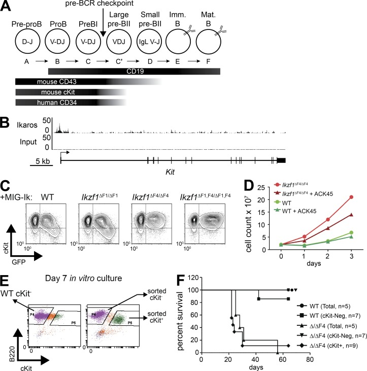 Kit is a ZnF4-dependent Ikaros target gene that confers growth advantage and correlates with aggressive leukemia. (A) Schematic diagram of relevant cell surface markers expressed on developing B cells. (B) ChIP-seq tracks of Ikaros and input from mouse pro-B cells ( Bossen et al., 2015 ) demonstrates binding of Ikaros at the Kit promoter. (C) Retroviral overexpression of Ikaros isoforms containing different subsets of the DNA-binding zinc fingers (IRES-GFP) in Ikzf1 null , EBF1-rescued noncommitted pro–B cells ( Reynaud et al., 2008 ). GFP and c-Kit expression was analyzed by flow cytometry. (D) Mouse pre–B ALL cells from WT and Ikzf1 ΔF4/ΔF4 mutant mice were created and cultured as described in Fig. 1 A . Cell growth with and without c-Kit blocking Ab (ACK45; 10 µg/ml) was measured by daily cell count. (C and D) One representative of two independent experiments. (E) Day 7 cultures of mouse pre–B ALL cells from WT and Ikzf1 ΔF4/ΔF4 mutant mice were sorted as indicated based on c-Kit expression. (F) Sorted cells from E or bulk unsorted day 7 cultures were i.v. injected into nonirradiated, immunocompetent WT C57BL/6 mice. Mice were monitored and euthanized upon development of leukemia. Leukemia was confirmed by necropsy and flow cytometry analysis, and survival of indicated cohorts is represented by Kaplan-Meyer curve.