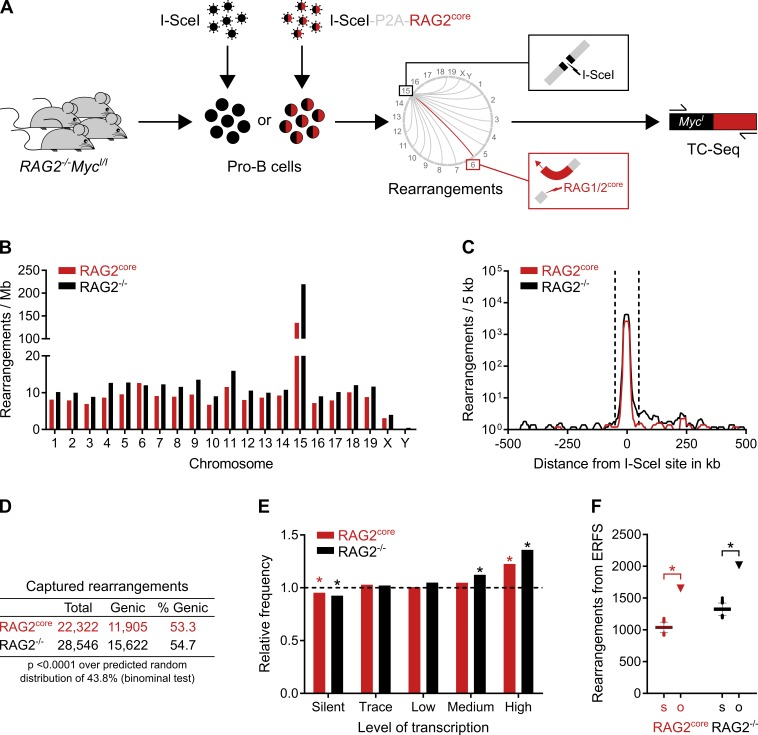 """Landscape of chromosomal rearrangements in primary pro–B cells by TC-Seq. (A) Detection of RAG1/2 core -induced chromosomal rearrangements by TC-Seq. Primary RAG2 −/− Myc I/I pro–B cells were infected ex vivo with retroviruses that express either I-SceI alone (RAG2 −/− TC-Seq libraries) or I-SceI together with murine RAG2 core (RAG2 core TC-Seq libraries) by using a """"self-cleaving"""" P2A peptide. DNA breaks, such as those induced by RAG1/2 core at Igκ on chromosome 6 (red lightning), rearrange to the I-SceI break at c- myc on chromosome 15 (black lightning) and are subsequently amplified by PCR, deep-sequenced, and analyzed computationally. RAG2 core and RAG2 −/− TC-Seq libraries were prepared in independent duplicates from infected pro–B cells of 180 mice. (B) Chromosomal distribution of rearrangements. Events were normalized per megabase to account for different chromosome sizes. (C) Profile of rearrangements around the I-SceI site in 5-kb intervals. Dashed lines indicate the ±50-kb region excluded from the analysis for D–F because of saturation. (D) Proportion of genic rearrangements. (E) Frequency of rearrangements derived from differentially transcribed genes compared with a random model (dashed line). Asterisks indicate values significantly different from random (P"""