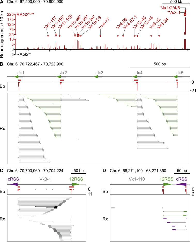 Rearrangements between I-SceI and RAG1/2 core -induced DNA breaks at Igκ . (A) Overview of rearrangement breakpoints at the Igκ locus on chromosome 6. Histogram of the number of breakpoints in the presence or absence of RAG2 core (red and black, respectively) in 10-kb intervals. RAG1/2 core -dependent rearrangement breakpoint clusters are indicated by red triangles and labeled with the corresponding Jκ or Vκ gene segment. Asterisks mark breakpoint clusters with biased rearrangements (see B–D). Chromosome coordinates and scale bar are indicated on top. (B–D) Examples of RAG1/2 core -dependent breakpoint clusters at Jκs and Vκs. On top is a diagram of the region, with gray boxes representing Ig segments, triangles indicating 12/23RSSs (green) or cRSSs (purple), and red bars indicating the breakpoint clusters. In the middle is a histogram showing the number and position of breakpoints (Bp, red). At the bottom, each horizontal line indicates a unique rearrangement (Rx), with its breakpoint represented by the vertical line and its sheared end (which determines the uniqueness of the event) shown by the box. Color coding indicates whether rearrangements contain RSSs/cRSSs (green/purple, signal ends) or not (gray, coding ends). Rearrangements in black are undefined. Chromosome coordinates and scale bar are indicated on top. Data analysis was performed with pooled RAG2 core and RAG2 −/− TC-Seq libraries (two independent experiments each). See also Fig. S2 (A–C) and Tables S1 and S2.