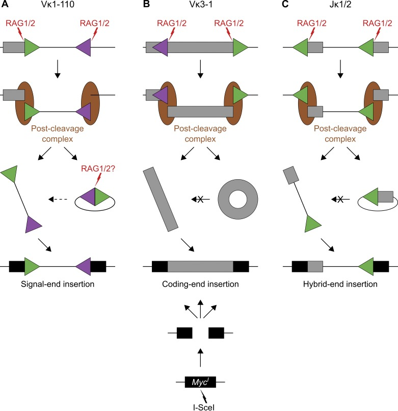 RAG1/2 mobilizes DNA from antibody gene segments into RAG1/2-independent DNA breaks. (A–C) Cartoon diagram to illustrate the pathways leading to insertion of RAG1/2-mobilized DNA into I-SceI breaks. Aberrant RAG1/2-mediated DNA excision at Vκ1-110 (A), Vκ3-1 (B), and Jκ1/2 (C) generates signal-end, coding-end, and hybrid-end insertions, respectively. Boxes represent Ig segments (gray) or Myc I (black), triangles indicate RSSs (green) or cRSSs (purple), red lightning points to RAG1/2 cleavage sites, and brown ellipses represent the post-cleavage complex. From top to bottom: first, RAG1/2 induces DNA breaks at paired RSSs/cRSSs. Second, DNA is aberrantly excised, and cleaved ends remain bound to the post-cleavage complex to support their repair by the NHEJ machinery. Third, excised DNA is either circularized and released from the post-cleavage complex as episomal joint (right arrow) or it escapes before end joining as linear fragment (left arrow). For signal-end insertions (A), linear DNA fragments might also originate from recleavage of episomal signal joints by RAG1/2 (dashed arrow). For coding-end and hybrid-end insertions (B and C), recleavage of episomal joints is unlikely because of the absence of paired RSSs (crossed arrows). Finally, mobilized linear DNA fragments reinsert into the genome at the I-SceI break.