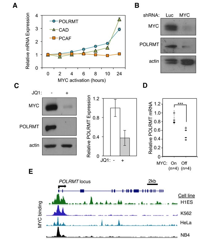 POLRMT is a direct transcriptional target of the MYC oncoprotein A. 2091 MYC/ER cells were treated with 4-hydroxytamoxifen (4-OHT) to induce MYC activity. Cells were harvested at the indicated time points and analyzed by quantitative real-time PCR (qRT-PCR) to show the kinetics of gene induction. Error bars represent SD, n = 3. B. H1299 cells were infected with lentiviral MYC shRNA or Luciferase (Luc) shRNA as a control. Cells were harvested and whole cells lysates were analyzed by Western blot for the indicated proteins. C. Raji cells were treated with JQ1 to deplete MYC levels. Cells were harvested and whole cell lysates were analyzed by Western blot (left) for the indicated proteins and qRT-PCR (right) for POLRMT expression. Error bars represent SD, n = 3. D. Mammary tumors were induced in six week old female bitransgenic MMTV-rtTA;TetO-MYC mice via administration of 2 mg/mL doxycycline in drinking water. After mammary tumor formation, doxycycline was withdrawn from the water of 4 mice (MYC OFF) while the other mice were maintained on doxycycline (MYC ON). 96 hours after doxycycline withdrawal, tumors were harvested and mRNA analyzed by qRT-PCR. Error bars represent SD, n = 4. *** p