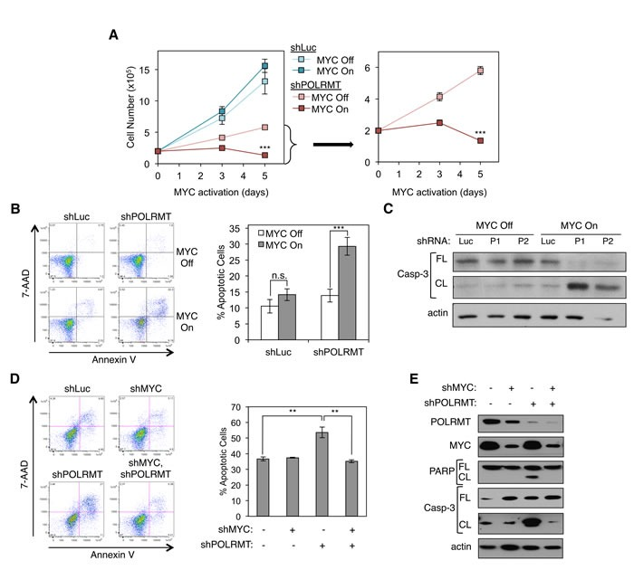 Synthetic Lethal Dependency of Deregulated MYC on POLRMT A. U2OS MYC/ER cells were infected with lentiviral POLRMT shRNA or Luciferase (Luc) shRNA as a control. Five days post-infection cells were seeded at equal densities and MYC activity was induced via treatment with 4-OHT (MYC On). Cells were counted on day three and day five post MYC-activation. shPOLRMT cell counts are shown with an adjusted scale (right). Error bars represent SD, n = 3. *** p