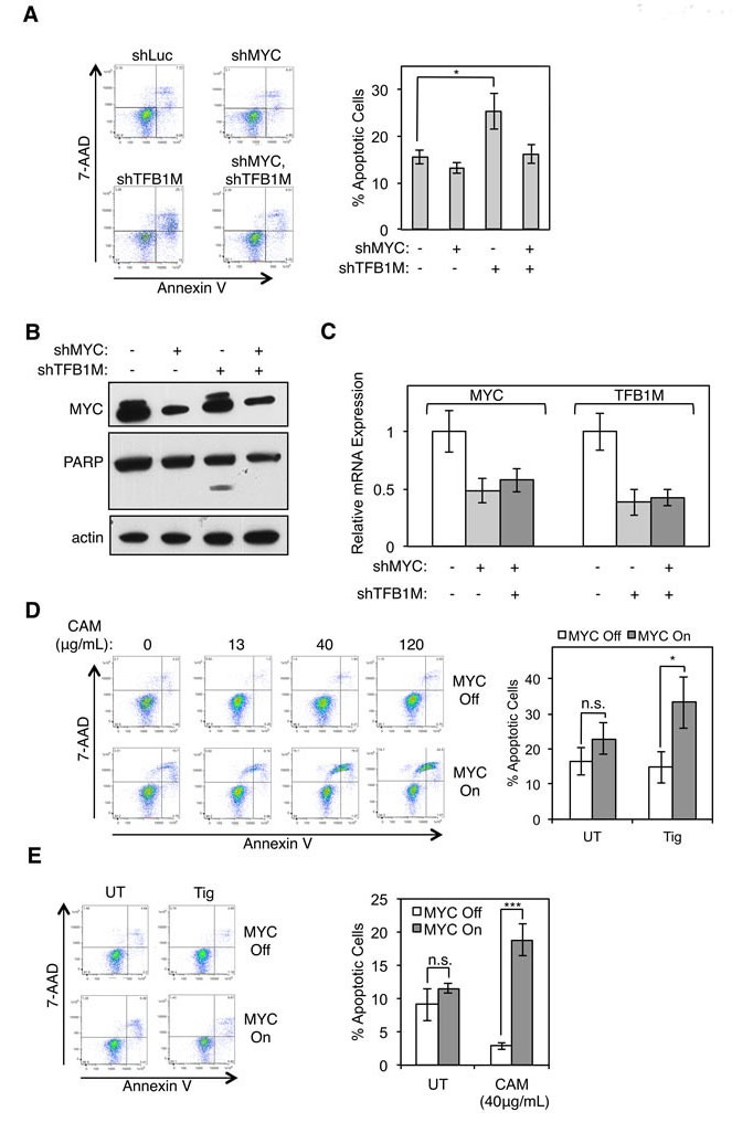 Inhibition of mitochondrial translation phenocopies synthetic lethality resulting from POLRMT inhibition A. HCT116 cells were infected with lentiviral MYC shRNA and/or TFB1M shRNA or Luciferase (Luc) shRNA. Five days post-infection cells were harvested and stained with Annexin V and 7-AAD. A representative flow cytometry analysis (left) and quantification of percent Annexin V positive cells (right) is shown. Error bars represent SEM, n = 5. * p