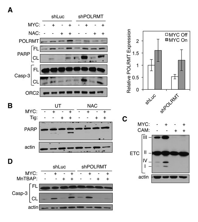 Mitochondrial gene expression protects MYC-overexpressing cells from toxic levels of ROS A. U2OS MYC/ER cells were infected with lentiviral POLRMT shRNA or Luciferase (Luc) shRNA and treated with NAC. MYC activity was induced via 4-OHT treatment (MYC On). Three days post-treatment cells were harvested and whole cell lysates were analyzed by Western blot for the indicated proteins (left). Relative mRNA expression was measured by qRT-PCR (right). Error bars represent SD, n = 3. B. U2OS MYC/ER cells were treated with tigecycline (Tig) and/or NAC. MYC activity was induced via 4-OHT treatment. Three days post-treatment cells were harvested and whole cell lysates were analyzed by Western blot for the indicated proteins. C. U2OS MYC/ER cells were treated with chloramphenicol (CAM). MYC activity was induced via 4-OHT treatment. Whole cell lysates were analyzed by Western blot using an antibody cocktail for subunits of electron transport chain (ETC) complexes, as indicated (I-IV). D. U2OS MYC/ER cells were infected with lentiviral POLRMT shRNA or Luciferase (Luc) shRNA and treated with MnTBAP. MYC activity was induced via 4-OHT treatment. Three days post-treatment cells were harvested. Whole cell lysates were analyzed by Western blot for the indicated proteins. Casp-3, caspase-3; FL, full length; CL, cleaved; UT, untreated.
