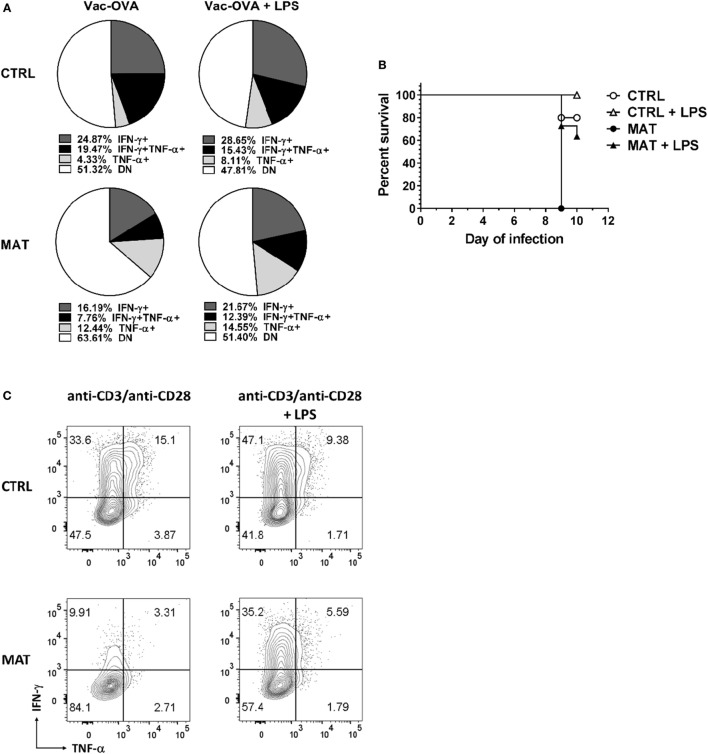 Lipopolysaccharide (LPS) treatment enhances interferon gamma (IFN-γ) production in maternal antibiotic treatment (MAT) effector CD8 + cells in vivo and in vitro . Control (CTRL) and MAT infant mice were infected at day of life (dol) 15 with vaccinia-ovalbumin (Vac-OVA, 1 × 10 4 PFU intraperitoneal) and were treated with Escherichia coli -derived LPS (50 μg o.g.) every other day for 10 days (Vac-OVA + LPS). (A) At day of infection 11, lymphocytes were isolated from the spleens of CTRL and MAT mice infant mice and stimulated in vitro with SIINFEKL peptide, phorbol 12-myristate 13-acetate, and ionomycin for 5 h to analyze the percentage of IFN-γ- and TNF-α-producing CD8 + T effector cells (CD44 + CD62L − , Teff) by flow cytometry (CTRL Vac-OVA, n = 3; CTRL Vac-OVA + LPS, n = 7; MAT Vac-OVA, n = 2; MAT Vac-OVA + LPS, n = 3). (B) Survival curve of CTRL and MAT infant mice following Vac-OVA infection and LPS treatment (CTRL Vac-OVA, n = 5; CTRL Vac-OVA + LPS, n = 5; MAT Vac-OVA, n = 2; MAT Vac-OVA + LPS, n = 11). Comparison of survival curves was performed by log-rank (Mantel–Cox) test. Data are representative of two infection experiments. (C) Pooled CD8 + T cells isolated from the spleens of uninfected dol 15 CTRL ( n = 3) and MAT ( n = 6) infant mice were stimulated with anti-CD3/anti-CD28 with or without Escherichia coli -derived LPS (1 μg/ml) for 72 h and analyzed for the percentage of IFN-γ and TNF-α-producing Teff cells by flow cytometry. Data are representative of three independent experiments.