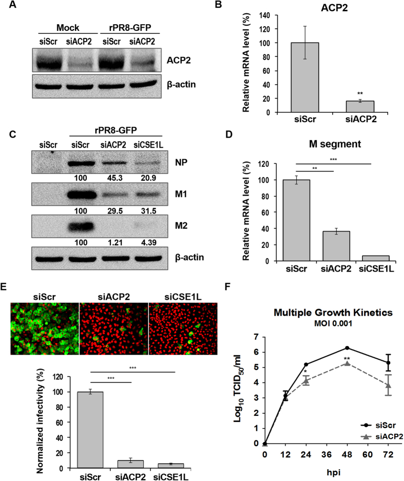 ACP2 depletion inhibits IAV infection. ( A ) Reduction of ACP2 protein expression by siACP2 in both non-infected and infected cells. A549 cells were transfected with indicated siRNAs. After 48 hours, cells were infected with rPR8-GFP virus or not (Mock) for 10 hours and then subject to western blot analyses using the anti-ACP2 and anti-β-actin antibodies. ( B ) Reduced ACP2 mRNA levels in siACP2-transfected cells. ( C ) Viral protein expression in ACP2-depleted cells. A549 cells were transfected with indicated siRNAs for 48 hours. Cells were then infected with the rPR8-GFP virus at an MOI of 1. After 10 hours, cells were lysed and subject to western blot analyses using the anti-ACP2, anti-NP, anti-M2, anti-M1, and anti-β-actin antibodies. The band density was quantified by Image J software. All values are relative to those of cells transfected with siScr. ( D ) Reduced viral mRNA levels upon ACP2 depletion. A549 cells were transfected with siACP2, siScr, or siSCE1L as indicated prior to infection with rPR8-GFP virus at an MOI of 1. After 10 hours, total RNA was extracted and subject to qRT-PCR. Mean mRNA expression was normalized to that of siScr-transfected cells using the 2ΔCt method. Means from triplicate experiments are given. Error bars represent ± SD. ( E ) ACP2 depletion reduced GFP expression in cells infected with rPR8-GFP virus. A549 cells were transfected for 48 hours with the indicated siRNAs, before infection with the rPR8-GFP virus at an MOI of 1. After 10 hours, cells were fixed and observed with a microplate imaging reader. Quantification of GFP-positive cells was normalized to that of the siScr-transfected cells. Bars show means ± SD from quadruplicated experiments. ( F ) Viral particle production was impeded by ACP2 depletion. A549 cells were transfected with indicated siRNAs for 48 hours before infection with the rPR8-GFP virus at an MOI of 0.001. Supernatant from the infected cells was collected at 12, 24, 48, and 72 hours post-infection. Viral t
