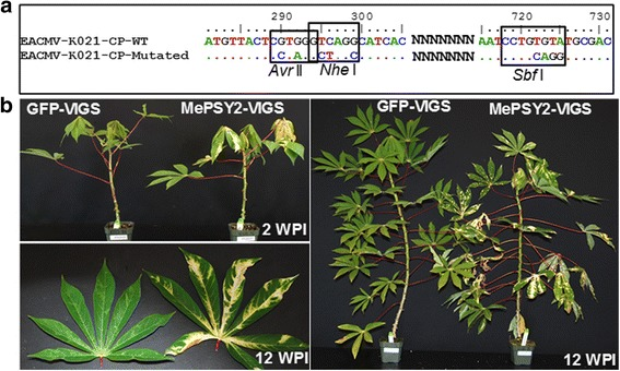 """East African Cassava mosaic virus (EACMV-K201) infectious clone-based virus-induced gene silencing (VIGS) vector. a Coat protein (CP) nucleotide sequence of EACMV-K201 DNA-A showing position and mutated nucleotides that introduced Avr II and Nhe I near 5′-end and Sbf I near 3′-end. Nucleotide positions were counted from the start codon """"ATG"""" of the CP. b Infectivity of the GFP-VIGS and MePSY2-VIGS targeting GFP and cassava phytoene synthase coding sequences, respectively, in wild-type cassava cultivar TME 7S. GFP-VIGS has no known target in the challenged cassava plant, and these plants display typical mosaic symptoms characteristic of CMD on leaves. MePSY2-VIGS-challenged plants show chlorosis on leaves. Pictures were collected at 2 and 12 weeks post inoculation (WPI)"""