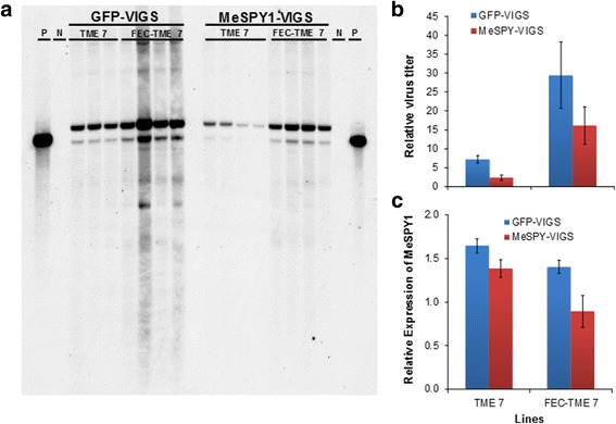 Virus titer in wild-type and FEC-derived TME 7 (Oko-iyawo) plants challenged with GFP-VIGS and MeSPY1-VIGS at 9 DPI. a Virus titer determination by Southern blot and b qPCR performed on total DNA extracted from leaves of wild-type (resistant to CMD) and FEC-derived (susceptible to CMD) plants. c RT-qPCR expression analysis of MeSPY. Higher virus titer is detected in both GFP-VIGS and MeSPY1-VIGS-challenged FEC-TME7 (susceptible plants) compared to the wild-type TME 7. Primers used for labelling probes for Southern blotting and for qPCR and RT-qPCR assays are shown in Table 1 . Bars show SE ( n = 4). P, positive control, N genomic DNA from unchallenged plants. Samples from three infected plants were pooled to make one sample, and a total of 4 samples (from 12 plants) were used per treatment combination