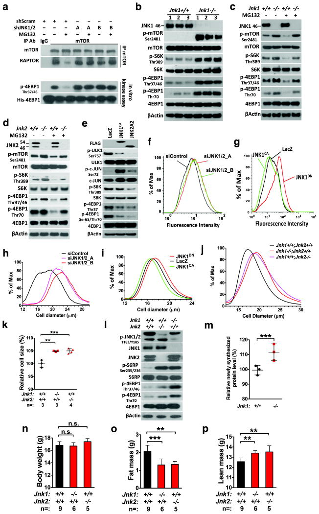 JNK negatively regulates mTORC1, translation, and cell size ( a ) HEK293T cells were stably transduced with lentiviral scramble or two combinations of JNK1/2 -targeting shRNAs, A (shJNK1_2 and shJNK2_1) and B (shJNK1_4 and shJNK2_2). Transduced cells were treated with DMSO or 500 nM MG132 for 4 hr. (b ) Three independent lines of primary MEFs were prepared for each genotype. ( c ) and ( d ) Primary Jnk1 -/- or Jnk2 -/- MEFs were treated with 200 nM MG132 for 6 hr. While JNK1 antibodies only recognized the p46 isoform, JNK2 antibodies recognized both p54 and p46 isoforms. ( e ) HEK293T cells were transfected with indicated plasmids for 48 hr. The JNK1 CA plasmid encodes a fusion protein between MKK7 and JNK1A1. ( f ) and ( g ) Following transfection with indicated siRNAs or plasmids, HEK293T cells were labeled with <t>6-FAM-dc-puromycin</t> for 30 min and analyzed by flow cytometry. ( h ) - ( j ) Sizes of transfected HeLa cells (h and i) and primary Jnk -deficient MEFs (j) were measured by a Multisizer™ 3 Coulter Counter. JNK manipulation causes statistically significant changes in cell size distribution (Kolmogorov-Smirnov test, p