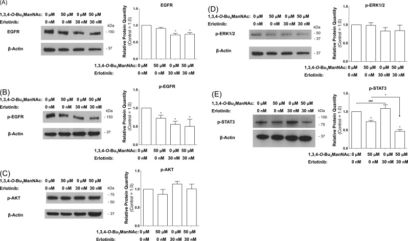 Western blot analysis of SW1990 cells treated with 50 μM 1,3,4- O -Bu 3 ManNAc, 30 nM of erlotinib, or both compounds in combination showed ( A ) EGFR levels that are not affected by the analog alone are decreased by erlotinib. ( B ) EGFR phosphorylation is inhibited by both compounds individually as well as in combination. ( C ) and ( D ) p-AKT and p-ERK1/2 levels, respectively, are not significantly affected by any of the treatment conditions. ( E ) p-STAT3 levels are inhibited by the analog but are not affected by erlotinib; however the combination of the two compounds leads to significantly lower p-STAT3 levels when compared to the analog alone. At least 3 biological replicates were carried out for each experiment with data expressed as mean ± standard error mean (SEM). * indicates a p value of