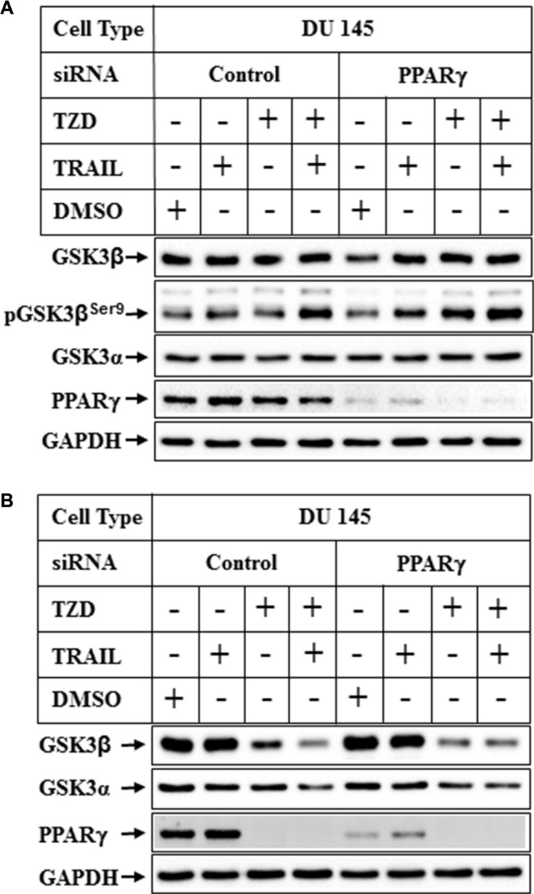 Effect of PPARγ knockdown on TRAIL-TZD-induced modulation of GSK3β pathway Subconfluent DU 145 cells were transfected with either control-siRNA or PPARγ-siRNA for 72 hrs followed by treatment with TRAIL or TZD alone or in combination for 6 hrs ( A ) or 24 hrs ( B ). The samples were analyzed by Western blots with the antibodies indicated.