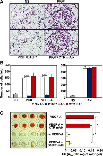 Effects of D16F7 mAb on endothelial cells ( A, B ) D16F7 mAb inhibits endothelial cells migration in response to PlGF and VEGF-A in vitro . Migration of HUV-ST cells (1.5 × 10 5 cells/chamber, 18 h incubation), non stimulated (NS) or exposed to VEGFR-1 activating stimuli (50 ng/ml PlGF; 20 ng/ml VEGF-A) or to an unrelated stimulus (5 μg/ml fibronectin, FN), was tested in Boyden chambers containing gelatin coated filters in the presence or absence of 2.5 μg/ml of D16F7 mAb or control mouse IgG mAb (CTR mAb). Photographs from a representative experiment with PlGF out of three are shown (x200 magnification) (A). Histograms represent the arithmetic mean values of migrated cells/microscopic field ± SD of three independent determinations (B). ( C ) D16F7 mAb inhibits angiogenesis in vivo . Matrigel, containing (VEGF-A) or not (no VEGF-A) 100 ng/ml VEGF-A, was injected s.c. in the flank of C57BL/6 mice. In selected samples containing the angiogenic stimulus, 10 μg/ml D16F7 mAb or control mouse IgG mAb (CTR mAb) were included. The presence of newly formed blood vessels in matrigel plugs was observed macroscopically and the hemoglobin (Hb) content was quantified by the Drabkin's method. Histogram represents the mean values of the hemoglobin content, evaluated as A 540 /100 mg of matrigel in quadruplicate samples, ± SD.