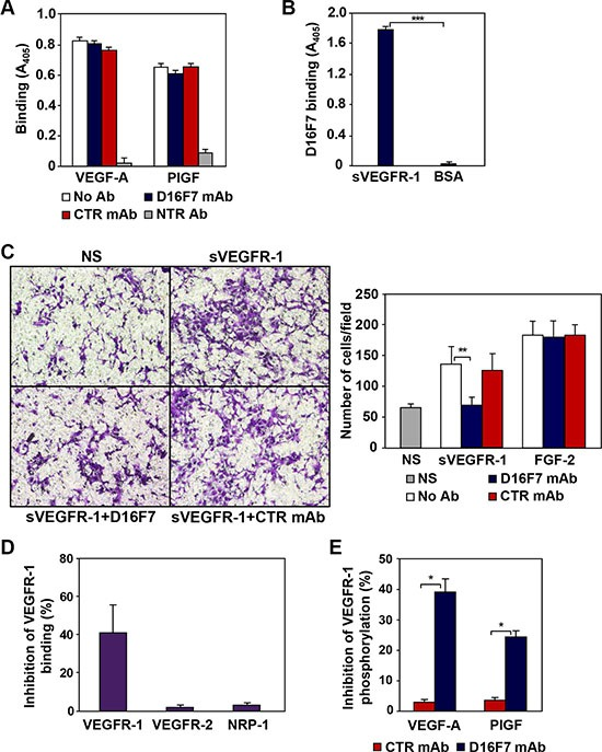 Mechanism of action of anti-VEGFR-1 D16F7 mAb ( A ) D16F7 binding to VEGFR-1 does not affect VEGFR-1 interaction with PlGF or <t>VEGF-A.</t> The influence of D16F7 mAb on PlGF and VEGF-A binding to VEGFR-1 was analyzed using 96-well plates precoated with VEGFR-1/Fc chimera. Selected wells were pre-incubated with 5 μg/ml D16F7 mAb or control mouse IgG mAb (CTR mAb). VEGF-A or PlGF were allowed to bind the receptor, alone (No Ab) or in combination with neutralizing antibodies (NTR Ab). VEGF-A or PlGF bound to VEGFR-1/Fc chimera were detected using biotinylated anti-VEGF-A or anti-PlGF mAbs and streptavidin-alkaline phosphatase-conjugated. ( B ) D16F7 binding to VEGFR-1. The mAb binding to VEGFR-1 was assessed by incubating selected VEGFR-1/Fc chimera or BSA precoated wells with the mAb and using an alkaline phosphatase-conjugated anti-mouse antibody. The results (A, B) are expressed as absorbance at 405 nm, and represent the arithmetic mean values ± SD of three independent determinations. ( C ) D16F7 mAb inhibits endothelial cell migration in response to sVEGFR-1. Migration of HUV-ST cells (1.5 × 10 5 cells/chamber, 18 h incubation) induced by 5 μg/ml recombinant sVEGFR-1 or by 100 ng/ml FGF-2 was tested in Boyden chambers containing gelatin coated filters. Assays were performed by including 5 μg/ml D16F7 mAb or control mouse IgG mAb (CTR mAb) together with sVEGFR-1 or FGF-2 in the lower compartment of the chamber. Photographs from a representative experiment out of three are shown (×200 magnification) (left panel). Histograms represent the arithmetic mean values of migrated cells/microscopic field ± SD of three independent determinations. NS, non-stimulated cells (right panel). ( D ) D16F7 mAb hampers VEGFR-1 homodimerization. The influence of D16F7 mAb on VEGFR-1 homodimerization or heterodimerization with other VEGF-A receptors was evaluated in plates coated with sVEGFR-1. Chimeras containing the extracellular region of the different VEGFRs (i.e., VEGFR-1, VEGFR-2 