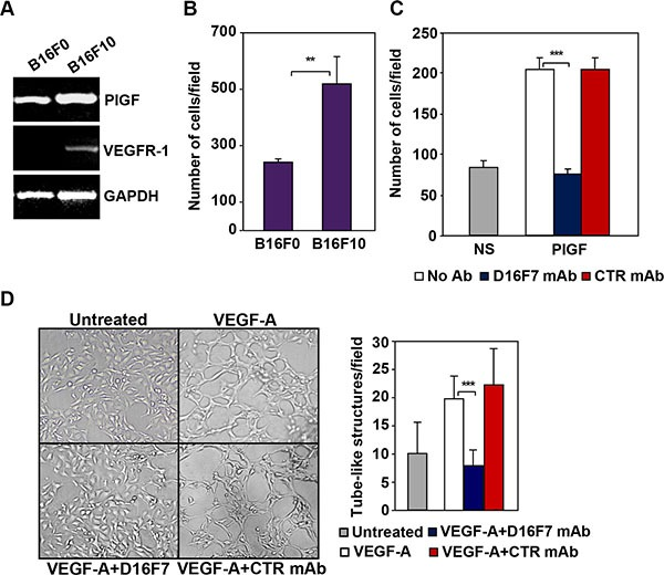 D16F7 inhibits migration and vasculogenic mimicry of murine melanoma cells ( A ) B16F10 cells but not B16F0 cells express VEGFR-1. PlGF and VEGFR-1 expression in B16F0 and B16F10 cells was evaluated by RT-PCR analysis. ( B ) B16F10 cells are characterized by a highly invasive phenotype. The ability of B16F0 and B16F10 cells to invade the extracellular matrix was analyzed in Boyden chambers equipped with matrigel coated filters (2 × 10 5 cells/chamber, 4 h incubation). Histogram represents the arithmetic mean values of the number of invading cells/field ± SD of three independent determinations. ( C ) D16F7 mAb inhibits D16F10 cell migration in response to PlGF. Migration of B16F10 cells (1.5 × 10 5 cells/chamber) induced by PlGF (50 ng/ml, 18 h incubation) was evaluated in Boyden chambers equipped with gelatin coated filters, in the absence (No Ab) or presence of 2.5 μg/ml D16F7 mAb or control mouse IgG mAb (CTR mAb). Histogram represents the mean values of the number of migrated cells/field ± SD of three independent determinations. NS, non-stimulated. ( D ) Effect of D16F7 mAb on B16F10 cell ability to form tube-like structures. Cells (4 × 10 4 /well), untreated or pre-incubated with 5 μg/ml D16F7 mAb or control mouse IgG mAb at room temperature for 30 min, were seeded in the absence or presence of 50 ng/ml VEGF-A on 24-wells plates coated with matrigel. Tube-like structures formation was analyzed after 48 h. Photographs from a representative experiment out of three are shown (×50 magnification). Histogram represents the arithmetic mean values of the number of tube-like structures ± SD, counted in ten different microscopic fields for each experimental group, for a representative experiment out of three.