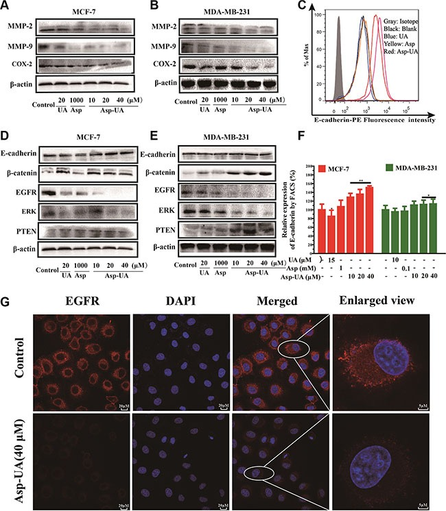 Influence of Asp-UA on the cell invasion molecules, EMT and EGFR related cell signaling pathways ( A ) Western blot analysis of UA/Asp/Asp-UA on the expression of MMP-2, MMP-9 and COX-2 in MCF-7 cells and ( B ) MDA-MB-231 cells. ( C ) Expression of E-cadherin on MCF-7 cells was determined by flow cytometry, isotype control (gray area), control (black curve), blue curve (15 μM UA), yellow curve (1 mM Asp) and red line represents Asp-UA treated group at concentrations of 20 and 40 μM, respectively. ( D ) Western blotting analysis of UA/Asp/Asp-UA on the regulation of E-cadherin, β-catenin, EGFR, ERK and PTEN in MCF-7 ( E ) and MDA-MB-231 cells ( F ). The inhibitory effects of UA, Asp and Asp-UA on the expression of E-cadherin by FACS. ( G ) Double immunofluorescence staining with DAPI (blue) and anti-EGFR antibody (red) was carried out in MCF-7 cells treated with Asp-UA for 24 h. The data were obtained from 3 separate experiments and bars represent the mean ± SD. (* P