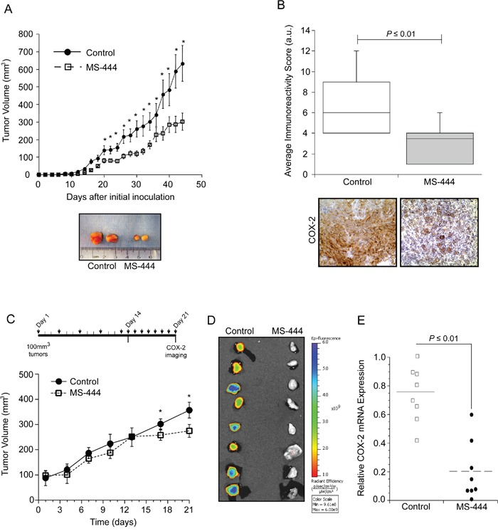 MS-444 inhibits COX-2 expression in vivo A. Tumor growth of HCA-7 cell implants in nude mice treated with 25 mg/kg MS-444 or vehicle control every 48 hr. Representative tumors excised at day 44 and are shown. *, P ≤ 0.05. B. IHC detection of COX-2. Graph indicates the average immunoreactivity scores (IRS) from stained tumor sections (n=10 tumors). C. Tumor growth of established HCA-7 tumors in mice treated with 25 mg/kg bw MS-444 or vehicle control by IP for 3 weeks as indicated. *, P ≤ 0.01. D. After 21 days, mice were injected with 2 mg/kg Fluorocoxib, tumors were excised and imaged to detect COX-2 expression ex vivo . Epi-fluorescence scale is shown. E. COX-2 mRNA expression of excised tumors was measured by qPCR using GAPDH as a loading control.