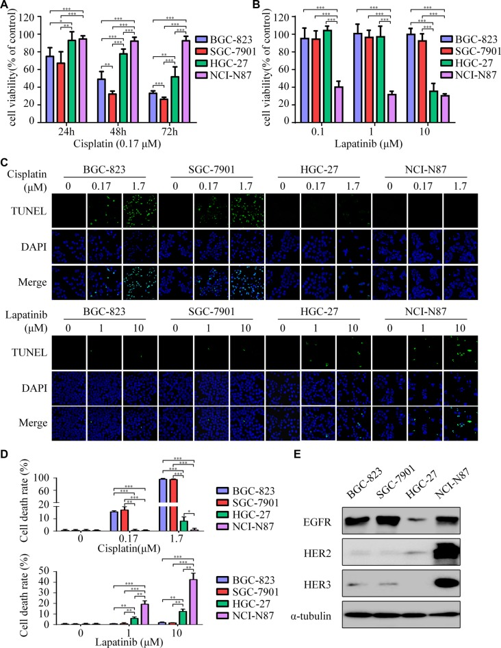 Lapatinib is effective to intrinsic cisplatin-resistant GC cells ( A ) Cell viability was determined by CCK-8 cell-proliferation assay. The gastric cancer (GC) cell lines (BGC-823, SGC-7901, HGC-27, NCI-N87) were exposed to 0.17 μM cisplatin for 24, 48 and 72 h. The percentage of viable cells was shown relative to untreated controls. ( B ) The cell viabilities of four GC cell lines were measured using CCK-8 assay after 48 h exposure to 0, 0.1, 1 and 10 μM of lapatinib. ( C ) Cell death was determined by TUNEL assay (× 1000). Top: The four GC cell lines were treated with 0, 0.17, 1.7 μM cisplatin for 24 h. Bottom: The four GC cell lines were treated with 0, 1, 10 μM lapatinib for 24 h. ( D ) Quantify TUNEL-positive cells of GC cells treated with cisplatin or lapatinib. ( E ) Western blot showing EGFR, HER2 and HER3 protein expressions in the four GC cell lines. The data presented are means ± SD from three independent experiments. * P