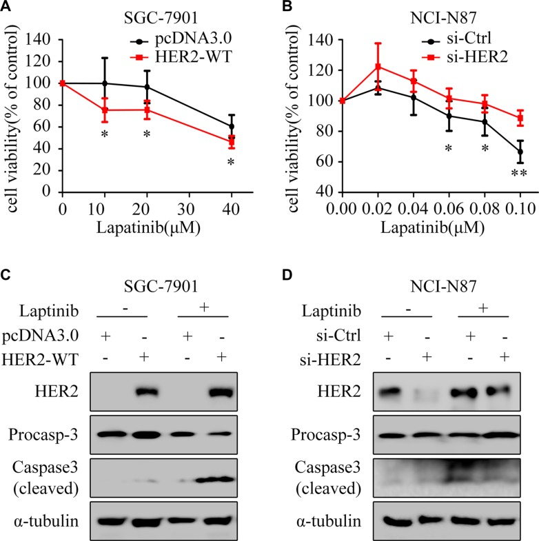 HER2 level contributes to lapatinib sensitivity ( A ) The cell viability was measured by CCK8 assay. SGC-7901 cells were exposed to different concentrations of lapatinib for 24 h after transfection with pcDNA3.0 or HER2-WT plasmid for 48 h. ( B ) NCI-N87 cells transfected with or without HER2 siRNA were treated with varying concentrations of lapatinib for 24 hours. The cell survival rates are expressed as means ± SD from at least three independent experiments. * P
