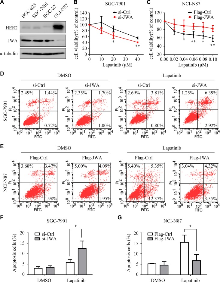 JWA decreases the sensitivity of GC cells to lapatinib ( A ) Expressions of HER2 and JWA were examined in whole-cell lysates by Western blotting. ( B and C ) SGC-7901 cells with or without JWA knockdown (B) and NCI-N87 cells with or without JWA overexpression (C) were treated with the indicated doses of lapatinib for 24 h. Cell survival was determined using the CCK8 assay. The cell survival rates are presented as means ± SD from three independent experiments. ( D ) SGC-7901 cells were transfected with si-JWA or its vector for 48 h, followed by incubation with 30 μM lapatinib for 24 h, and then analyzed by flow cytometry. ( E ) NCI-N87 cells were transfected with Flag-JWA or its vector for 48 h, followed by incubation with 1 μM lapatinib for 24 h, and then analyzed by flow cytometry. ( F and G ) Quantification of apoptosis in D and E. Columns indicate average of triplicates and bars indicate SD. * P