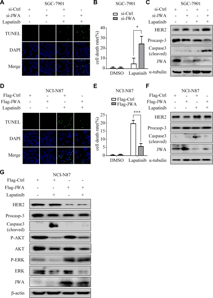 JWA mediates lapatinib resistance by negatively regulating HER2 ( A ) SGC-7901 cells were transfected with JWA siRNA or 48 h, followed by exposure to 30 μM lapatinib for 24 h. The apoptotic rate was determined by the TUNEL assay (×1000). ( B ) Quantification of TUNEL-positive SGC-7901 cells transfected with JWA siRNA. ( C ) SGC-7901 cells were treated with lapatinib as in (A) and whole-cell lysates were collected for detection of target proteins by Western blotting. ( D ) NCI-N87 cells were transfected with Flag-JWA and then treated with 1μM lapatinib for 24 h. The apoptotic rate was determined by the TUNEL assay (× 1000). ( E ) Quantification of TUNEL-positive NCI-N87 cells transfected with Flag-JWA. Columns indicate average of triplicates and bars indicate SD. * P