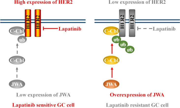 Schematic model of the JWA/c-Cbl/HER2 pathway's role in lapatinib resistance Left: low expression of JWA contributes to HER2 stabilization and lapatinib sensitivity. Right: JWA overexpression promotes the E3 ubiquitin ligase c-Cbl, leading to an increase in Her2 polyubiquitination. This ultimately results in a decrease in Her2 protein levels and confers lapatinib resistance.