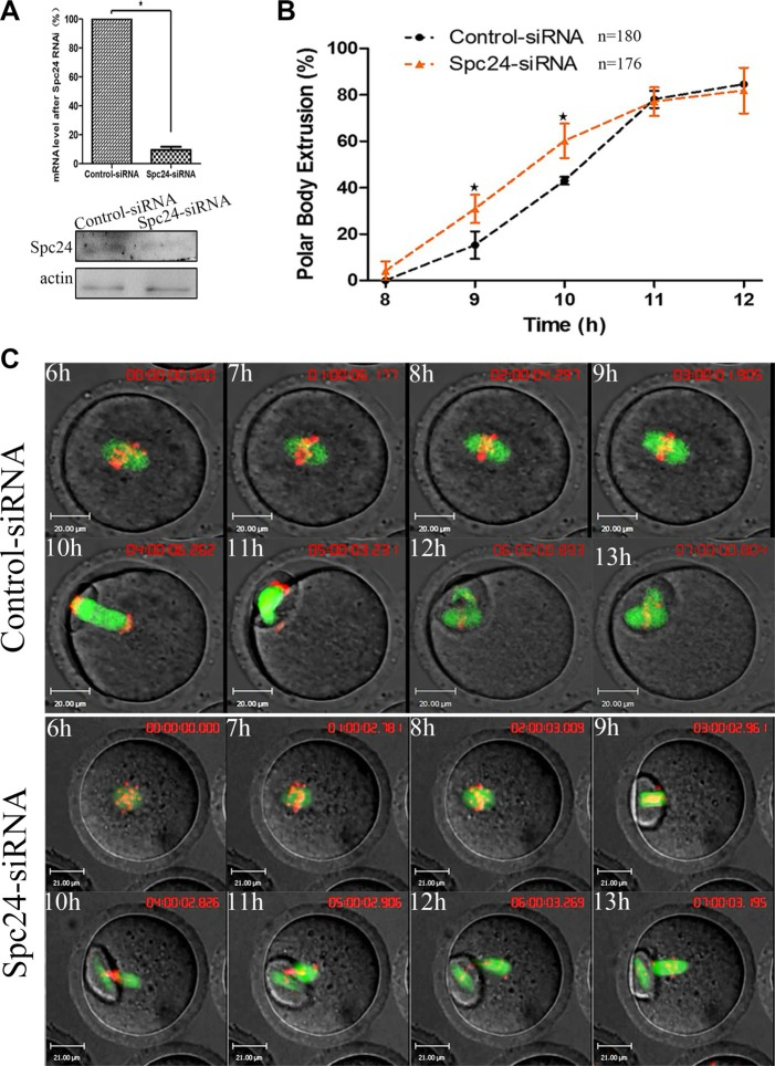 Knockdown of Spc24 accelerates polar body extrusion ( A ) Levels of Spc24 mRNA or protein in siRNA injected oocytes. The GV stage oocytes were microinjected with negative control siRNA or Spc24 siRNA and incubated for 24 h in M2 medium containing 200 μM IBMX before collecting the oocytes for real time quantitative PCR or western blot. ( B ) Timing of polar body extrusion was determined in Spc24-depleted oocytes and control oocytes. Data are expressed as mean ± SEM of at least 3 independent experiments. *Significantly different ( P