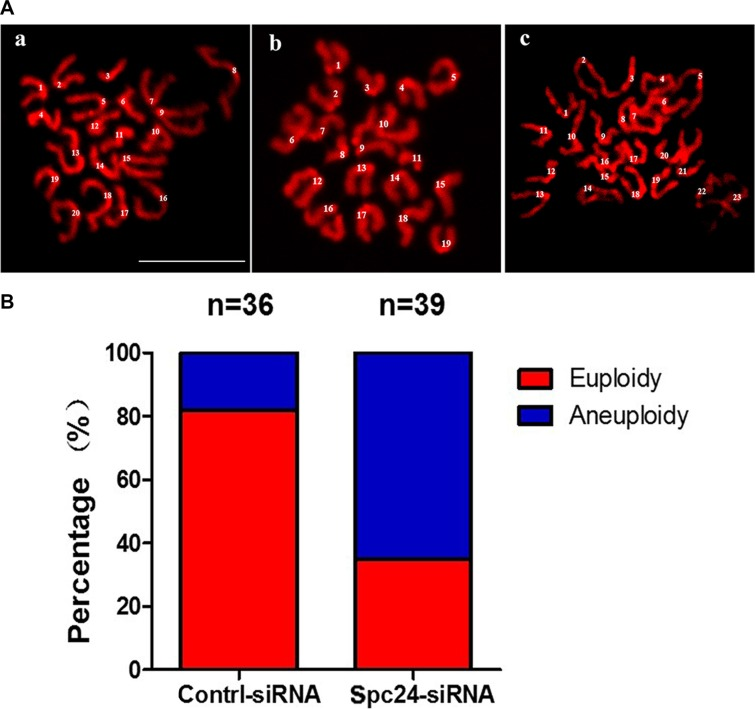 """Knockdown of <t>Spc24</t> causes aneuploidy ( A ) Oocytes in MII stage were collected and chromosome spreads were performed in control and Spc24 RNAi oocytes. Scale bars: 20 μm. ( B ) The numbers of univalents in the oocytes in A a; b; c are 20; 19; 23, (""""a"""" is control oocyte, """"b,c"""" are RNAi oocytes), respectively. The total numbers of analyzed oocytes are indicated (n)."""