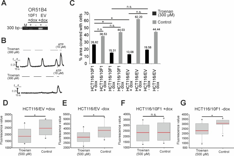 Analysis of the Troenan-induced effect in HCT116 cells containing a doxycycline-sensitive OR51B4-knockdown-sequence. (A) Confirmation of knockdown functionality by qRT-PCR and calcium imaging experiments. M = Marker. Stimulation of HCT116/EV (left) and HCT116/10F1 cells (right) with Troenan (100 μM/ 300 μM). (B) Representative calcium signal of HCT116/EV (above) and HCT116/10F1 (below) cells stimulated with Troenan (300 μM) in calcium imaging analysis. (C) Migration analysis via scratch assay with HCT116/EV and HCT116/10F1 cells with and without doxycycline induction. Stimulation of the cells with Troenan (300 μM) for 48 hours. N = 3 assays with 3 dishes. (D)-(G) Proliferation analysis of HCT116/EV (D, E) and HCT116/10F1 (F, G) cells after treatment with Troenan (300 μM) with and without doxycycline induction. Troenan (300 μM) was applied for 72 hours. N = 20 .