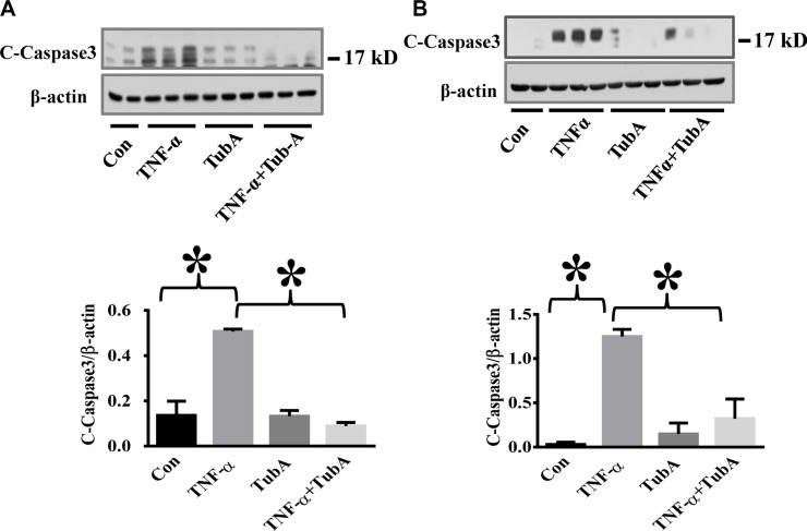 HDAC6 inhibition by Tubastatin A attenuates caspase-3 activation in endothelial cells HPAECs and HLMVECs were pre-treated with Tubastatin A (TubA, 3 μM) for 6 h, then challenged with TNF-α (20 ng/ml) for 18 h. Cells were divided into 4 groups: Control (Con), TNF-α alone (TNFα), Tubastatin A alone (TubA), and TNF-α+Tubastatin A (TNFα+TubA). Representative blots and densitometry analysis of cleaved-caspase-3 in HPAECs ( A ) and HLMVECs ( B ). * P