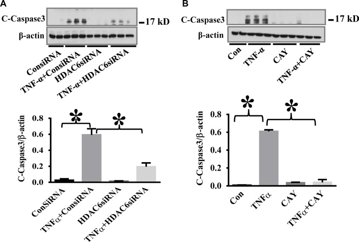 HDAC6 knockdown and HDAC6 inhibition by CAY10603 block TNF-α-induced caspase-3 activation in endothelial cells ( A ) HPAECs were transfected with HDAC6 siRNA or control siRNA for 48 h, then challenged with TNF-α (20 ng/ml) for 24 h. Cells were divided into 4 groups: Control (Con), TNF-α alone (TNFα), siRNA alone (siRNA), and TNF-α+siRNA(TNFα+siRNA). ( B ) HPAECs were pre-treated with CAY10603 (CAY, 0.1 μM) for 6 h, then challenged with TNFα (20 ng/ml) for 18 h. Cells were divided into 4 groups: Control (Con), TNF-α alone (TNFα), CAY10603 alone (CAY), and TNF-α+CAY10603 (TNFα+CAY). Representative blots and densitometry analysis of cleaved caspase-3. * P