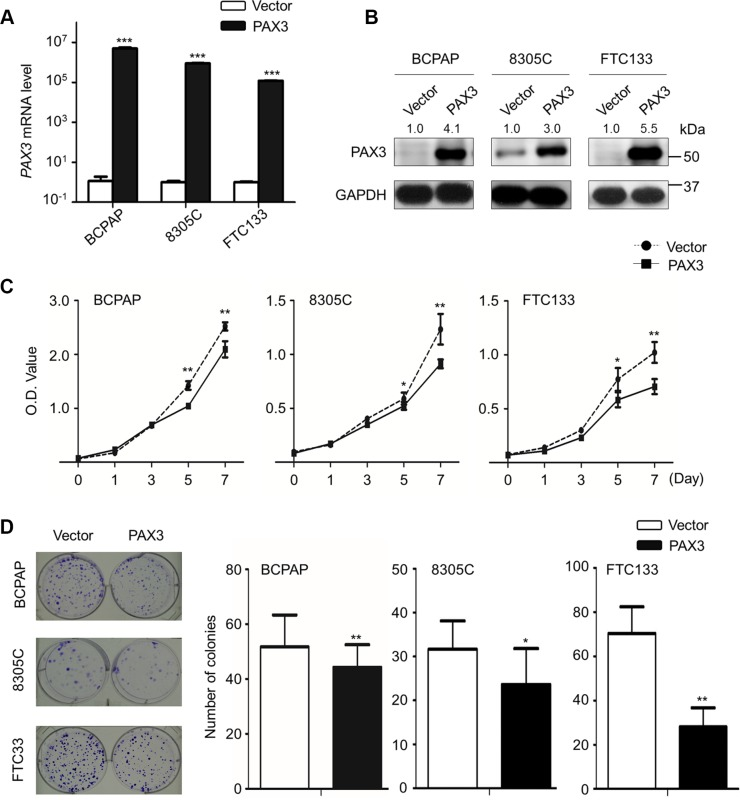 Inhibition of cell proliferation and colony formation by PAX3 in thyroid cancer cells Ectopic expression of PAX3 mRNA ( A ) and protein ( B ) in thyroid cancer cell lines BCPAP, 8305C and FTC133 was evidenced by qRT-PCR and western blot assays, respectively. 18S rRNA was used as a normalized control for qRT-PCR assay. GAPDH was used as loading control in western blot assay. ( C ) PAX3 re-expression significantly inhibited cell proliferation in thyroid cancer cells. ( D ) The effect of PAX3 re-expression on cell growth was further confirmed by colony formation assay. Left panel shows the representative images of colony formation in cells transfected with pcDNA3.1-PAX3 or empty vector. Quantitative analysis of colony numbers is shown in the right panel. Data were presented as mean ± SD. Statistically significant differences were indicated: * P