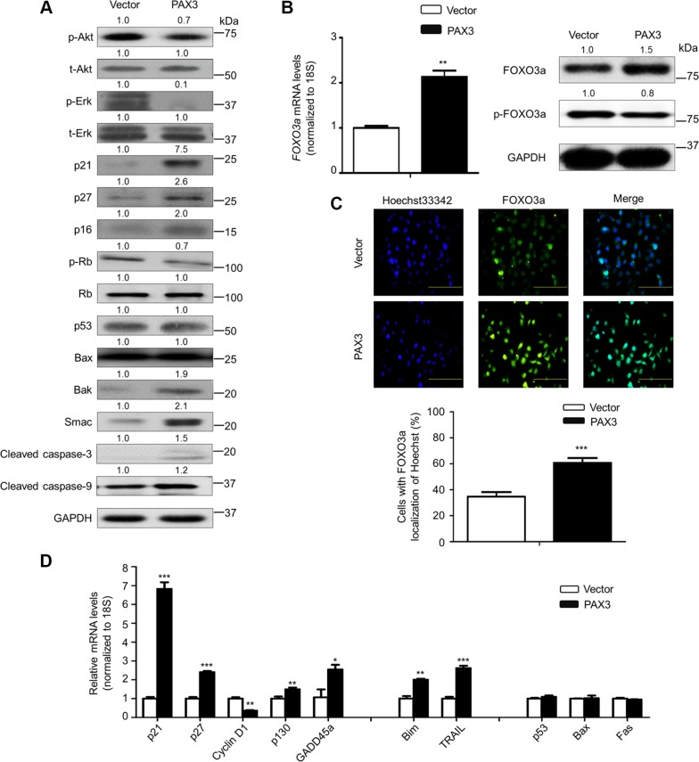 Modulation of the activities of major signaling pathways and FOXO3a by PAX3 in thyroid cancer cells ( A ) The indicated cells were lysed and lysates were subjected to western blot analysis. The antibodies against phospho-Akt (p-Akt), total Akt (t-Akt), phospho-Erk (p-Erk) and total Erk (t-Erk) were used to determine the effect of PAX3 re-expression on the activities of PI3K/Akt and MAPK/Erk pathways. The antibodies against p21, p27, p16, phospho-Rb (p-Rb) and Rb were used to determine the effect of PAX3 re-expression on the regulation of cell cycle. The antibodies against p53, Bax, Bak, Smac, activated caspase-3 and -9 were used to determine the effect of PAX3 re-expression on cell apoptosis. GAPDH was used as loading control. ( B ) Total RNA and protein were extracted from the indicated cells. qRT-PCR assay was performed to determine the effect of PAX3 re-expression on FOXO3a expression (left panel). Western blotting was used to assess the effect of PAX3 re-expression on the levels of FOXO3a protein and phosphorylated FOXO3a (p-FOXO3a) (right panel). 18S rRNA was used as an endogenous control for qRT-PCR assay. GAPDH was used as loading control for western blot analysis. ( C ) Immunofluorescence assay was used to test the effect of PAX3 re-expression on the expression and cellular localization of FOXO3a (upper panel). Colocalization of FOXO3a with Hoechst33342 was quantified in low panel. Green color represents FOXO3a fluorescence and blue color represents Hoechst33342 staining for nuclei. ( D ) qRT-PCR assay was used to test the effect of PAX3 re-expression on the expression of a set of cell cycle- and apoptosis-related genes. Expression levels of these genes were normalized with 18S rRNA levels. Data were presented as mean ± SD. Statistically significant differences were indicated: * P