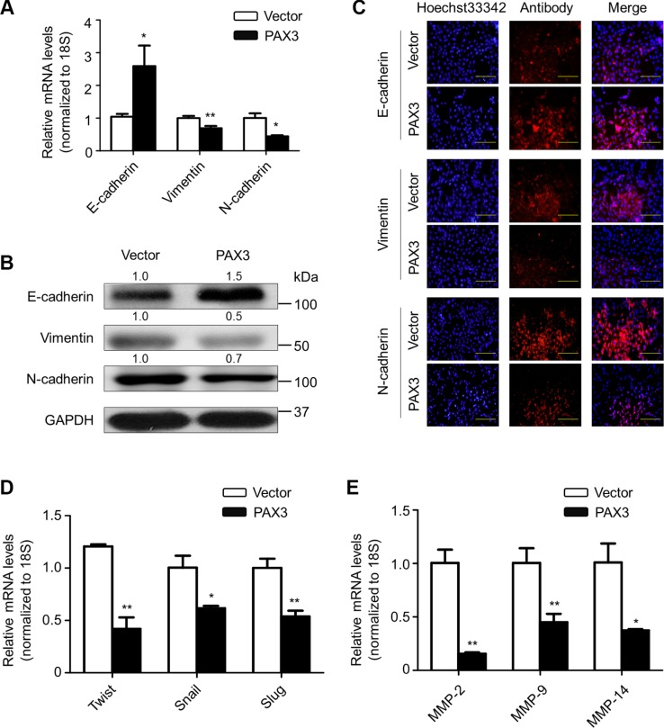 Inhibition of EMT process and the expression of metastasis-associated genes by PAX3 in thyroid cancer cells To test the effect of PAX3 re-expression on the process of EMT, the expression of E-cadherin, Vimentin and N-cadherin was determined at both mRNA ( A ) and protein ( B ) levels in the indicated cells by using qRT-PCR and western blot assays, respectively. 18S rRNA was used as an endogenous control for qRT-PCR assay. GAPDH was used as loading control. ( C ) Immunofluorescence staining was performed to assess the expression of E-cadherin, Vimentin and N-cadherin proteins in the indicated cells. Red color represents target protein fluorescence and blue color represents Hoechst33342 staining for nuclei. ( D ) qRT-PCR assay was used to test the effect of PAX3 re-expression on mRNA expression of E-cadherin transcription suppressors Twist , Snail and Slug in the indicated cells. ( E ) qRT-PCR assay was also used to evaluate the effect of PAX3 re-expression on expression of metastasis-related genes MMP - 2 , - 9 and - 14 in the indicated cells. 18S rRNA was used as a normalized control. Data were presented as mean ± SD. Statistically significant differences were indicated: * P
