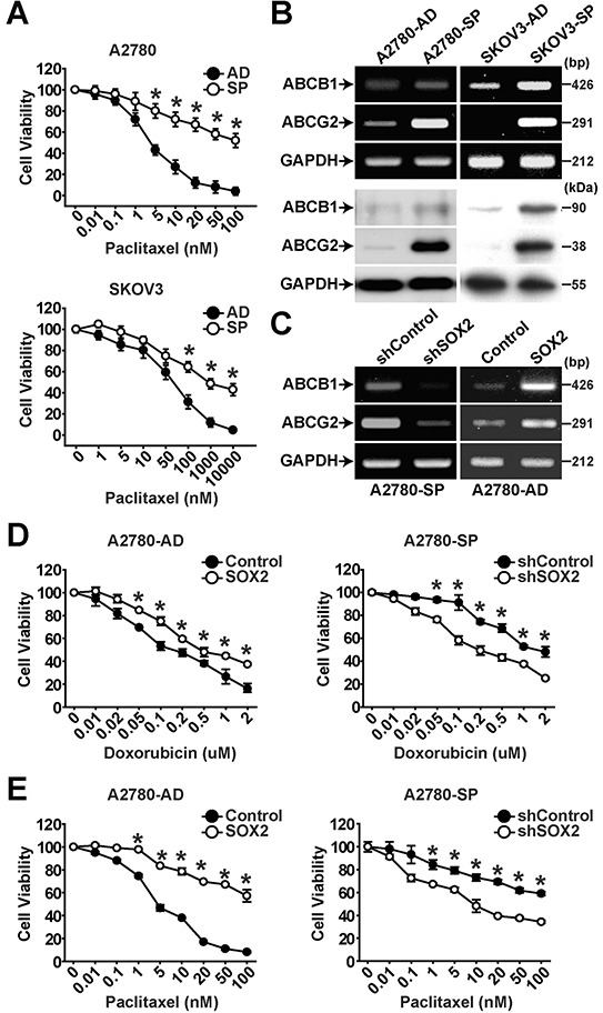 SOX2 expression is important for maintaining chemoresistance in ovarian cancer cells A. Viability of adherent cells (AD) or sphere cells (SP) of A2780 (upper panel) or SKOV3 (lower panel) ovarian cancer cells in the presence of increasing concentrations of paclitaxel was determined by MTT assay. The percentage of viable cells is shown after normalization to no treatment control. Data indicate mean ± SD (n=4). *, P