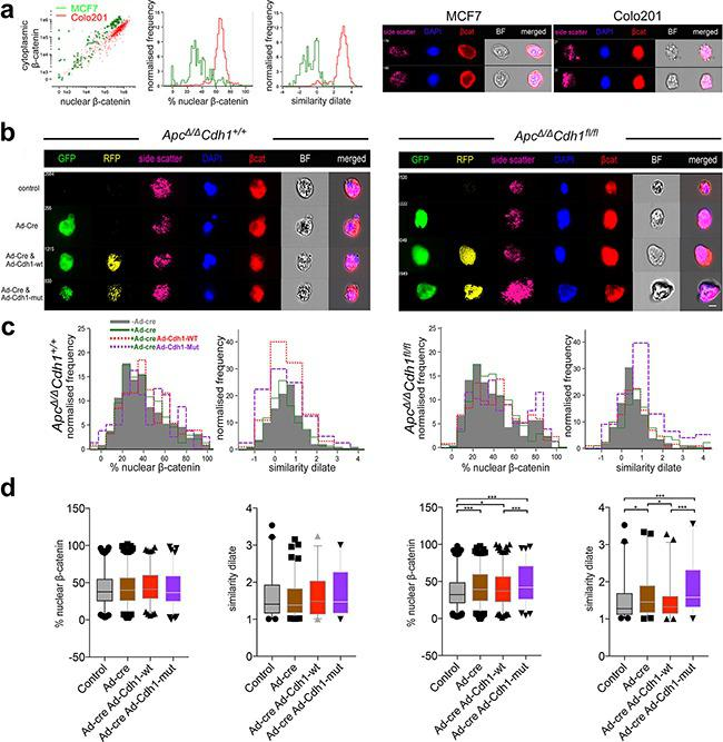 Localization of nuclear β-catenin in Apc Δ/Δ Cdh1 fl/fl adenoma organoids following complementation with adenovirus expressing wild-type and EC1 domain mutant of Cdh1 a. Validation of image stream analysis of β-catenin localization in MCF7 and Colo201 cells with cytoplasmic and nuclear β-catenin localization, respectively. Note difference in the % of nuclear β-catenin and similarity dilate between the cell lines, with MCF being cytoplasmic and Colo201 being nuclear. Image stream representative images displaying differential β-catenin localization in the cell lines. b. Image stream representative images displaying differential β-catenin localization in the adenoma organoid cells with respect to genotype. c. Image stream evaluation for nuclear β-catenin utilises either a DAPI mask (left graph, % nuclear β-catenin) or similarity dilate (right graph, direct comparison of DAPI with β-catenin). Shown are the profiles of nuclear vs. cytoplasmic β-catenin localization for non-Ad-Cre-GFP transfected (grey shading) versus Ad-Cre-GFP (green), with either Ad-Cdh1-WT-RFP (red) or Ad-Cdh1-Mut (purple) co- transfected adenoma organoids. d. Quantification (mean and 95% confidence interval with outliers) and statistical analysis of the % nuclear β-catenin and similarity dilate (R12 region, Supplementary Figure S14 ) with respect to genotype and intervention. Note the rescue of the increase of nuclear β-catenin localization in double Ad-Cre-GFP and Ad-Cdh1-WT-RFP transfected Apc Δ/Δ Cdh1 fl/fl cells, and the significant overall increase in nuclear β-catenin localization following Ad-Cdh1-Mut (see also Supplementary Figure S14 ). *p