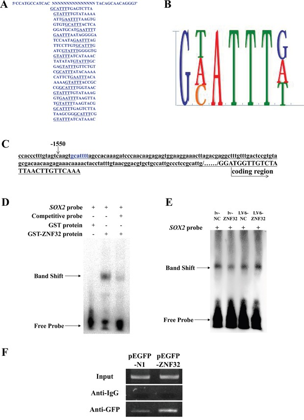 <t>ZNF32</t> directly binds the SOX2 promoter to suppress SOX2 transcription A. The DNA binding sites were identified by CASTing. The DNA sequences of the 22 clones are shown. B. Analyses of the sequences of the 22 clones revealed the ZNF32-DNA binding site as 5′- g(a/c/t)attt -32. C. The 2-kb region upstream of the human SOX2 promoter was from the NCBI web server. Blue characters mark the DNA binding site, 5′- gcattt -32, located at -1545. D. EMSA revealed that the SOX2 probe was preferentially bound by the ZNF32 protein compared with <t>GST,</t> and the binding capacity was weakened as competitive probe was added in vitro . The band shift revealed the protein-DNA binding capacity. E. EMSA showing that protein-probe binding corresponded to nuclear ZNF32 protein expression. Nuclear proteins were isolated from the BE(2)-C stable cell lines lv-NC (lane 1), lv-ZNF32 (lane 2), LV6-NC (lane 3), LV6-ZNF32 (lane 4). The band shift changed with the ZNF32 expression level. F. GFP-ChIP PCR results indicated that ZNF32 over-expression increased the protein-DNA binding ability, suggesting that ZNF32 specifically binds the SOX2 promoter sequence. IgG was used as a negative control.