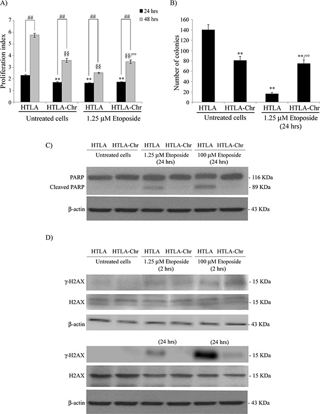 Chronically-etoposide-treated HTLA cells (HTLA-Chr) are less proliferating and tumorigenic than untreated HTLA parental cells and they evade apoptotic death induced by etoposide exposure A. Proliferation assay. HTLA parental cells and HTLA-Chr cells were incubated with CFDA-SE and the intensity of cellular CFDA-SE fluorescence was evaluated at 24 hrs and 48 hrs after 1.25 μM etoposide treatment. Results were expressed as proliferation index and are the means ±S.E.M. of three independent experiments. ** p