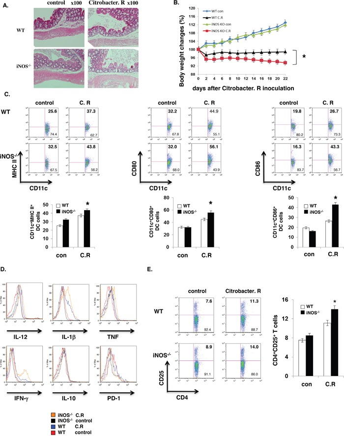 iNOS suppress effector DC differentiation in vivo WT or iNOS −/− mice were fed orally with <t>Citrobacter</t> <t>Rodentium.</t> Colon tissues with H E staining were showed as A, B. Body weights of WT or iNOS −/− mice which were fed orally with Citrobacter Rodentium were balanced every two days. C. Maturation markers in CD11b + CD11c + cells of mesenteric lymph node of WT or iNOS −/− mice which were fed orally with Citrobacter Rodentium as in (A) and were analyzed by FACS. D. Effector/stimulatory DC markers in CD11b + CD11c + cells of mesenteric lymph node of WT or iNOS −/− mice which were fed orally with Citrobacter Rodentium as in (A) and were analyzed by FACS. E. T cell activation marker CD25 expression in CD4 + T cells of mesenteric lymph node of WT or iNOS −/− mice which were fed orally with Citrobacter Rodentium as in (A) were analyzed by FACS. Data represent mean ± SD. * P