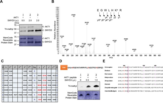 SMYD3 methylates AKT1 in vitro A. Recombinant AKT1 protein was incubated with different concentration of SMYD3 in the presence of <t>S-adenosyl-L-[methyl-</t> 3 H]-methionine, and methylation signal was detected by autoradiography (upper panel). Amounts of loading proteins were evaluated by staining with MemCode™ Reversible Protein Stain (lower panel). The concentration of SMYD3 is 11.5 μM. B. The LC-MS/MS spectrum corresponding to the monomethylated AKT1 9-15 peptide. AKT1 recombinant protein was incubated with SMYD3 and S-adenosyl-L-methionine, followed by separation by SDS-PAGE. An excised AKT1 band from the gel was digested with trypsin and subjected to LC-MS/MS analysis. The methylation site was determined by MASCOT search. The 14 Da increase of the Lys 14 residue was observed. C. The theoretical values of MS/MS fragments ions of the Lys 14 monomethylated AKT1 9-15 peptides are summarized in the table. The abbreviations of fragment ion types were indicated by the MASCOT program ( http://www.matrixscience.com/help/fragmentation_help.html ). The observed ions in Figure 1B were indicated in red letters. D. The biotin-conjugated AKT1 10-44 peptide was incubated with SMYD3 in the presence of S-adenosyl-L-[methyl- 3 H]-methionine, and methylation signal was detected by autoradiography. Amounts of loading proteins were evaluated by staining with MemCode™ Reversible Protein Stain. E. Amino acid sequence alignment of AKT1. Lys 14 is highlighted in red and conserved among various species. Glu 17, which forms an ionic interaction with Lys 14, is shown covering a red hatched rectangle.