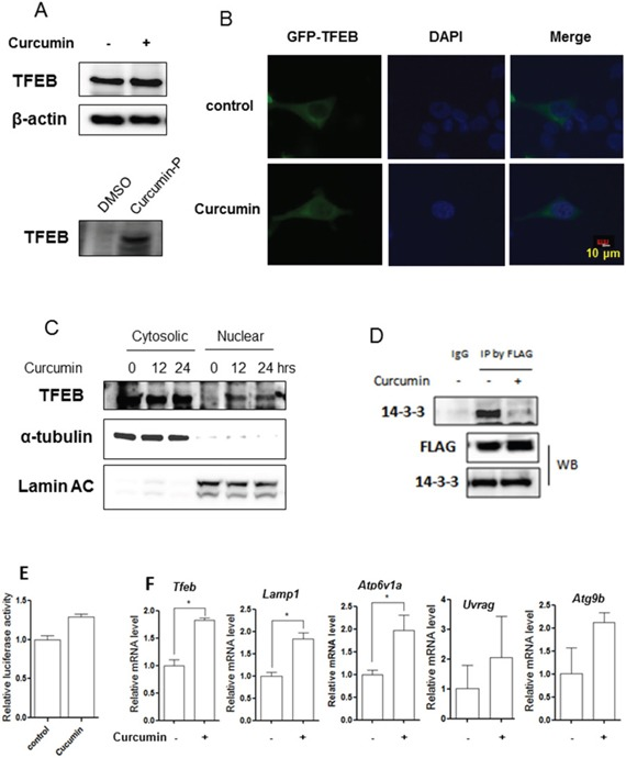 Curcumin directly targets TFEB for activation A. HCT116 cells were treated with 10 μM Curcumin for 12 hours and cell lysates were prepared followed by immunoblotting for TFEB and β-actin (up panel). HCT116 cells were labeled with Curcumin-probe (30 μM) for 4 hours and western blotting was performed to validate Curcumin-probe targeted TFEB (down panel). B. Enhanced TFEB nuclear translocation in response to Curcumin treatment (10 μM; 12 hours). Live imaging of GFP-TFEB (green) and DAPI (blue) in HCT116 cells showed an enrichment of the GFP-TFEB signal in the nuclear. Five fields containing 20 to 30 cells were analyzed for TFEB nuclear localization. Scale bar, 10 μm. C. HCT116 cells were treated with 10 μM Curcumin as indicated. Cytosolic and nuclear fraction from control and Curcumin-treated cells were probed for TFEB. The same membrane was then stripped and reprobed for α-tubulin or Lamin AC as loading control. D. HCT116 cells were transient transfected with the TFEB-3x Flag (kindly provided by Dr. A Ballabio) and then treated with 10 μM Curcumin for 12 hours. Cells were lysed and subjected to immunoprecipitation with anti-FLAG antibody followed by immunoblotting for 14-3-3. TFEB was also determined using anti-FLAG antibody. E. HCT116 cells were transiently transfected with the TFEB-luc reporter construct (kindly provided by Dr. A Ballabio). After 24 hours, the cells were treated with Curcumin (10 μM) for another 12 hours and the relative luciferase activity was measured. RLU refers to relative luciferase units. Error bars represent the standard deviation from two independent experiments. F. HCT116 cells were treated with Curcumin (10 μM) for 12 hours and cells were harvested for RNA extraction. Real-time PCR was performed to determine mRNA level changes in the known TFEB target genes, such as Lamp1, Atp6v1a, Uvrag and Atg9b . Gapdh was used as a loading control. All values are means ± SD at least 3 independent experiments. Student's t test, * P
