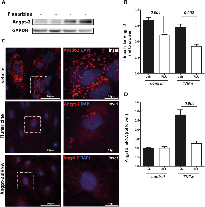 Flunarizine reduces <t>Angiopoietin-2</t> (Angpt-2) synthesis in vitro . ( A ) Cropped Angpt-2 immunoblot from human umbilical vein endothelial cell (HUVEC) lysates 15 hrs after 10 μM Flunarizine (FLU) (+) or vehicle (−) treatment. (n = 4) ( B ) After stimulation with 10 μM FLU or vehicle for 1 h, 10 ng/mL Tumor necrosis factor α (TNFα) or control was applied to HUVECs for 24 hrs. Angpt-2 concentration in cell lysates was measured by enzyme-linked immunosorbent assay (ELISA) and is shown relative to whole protein (n = 6). ( C ) Fluorescent immunocytochemistry for Angpt-2 (red) and nuclear staining (4′,6-diamidino-2-phenylindole, blue) in HUVECs after treatment with 10 μM Flunarizine, vehicle or Angpt-2 siRNA as a negative control for 24 hrs (n = 4) (D ) Real-time polymerase chain reaction (RT-qPCR) for Angpt-2 in HUVECs stimulated with 10 ng/mL TNFα or control for 15 hrs after pretreatment with either FLU or vehicle (n = 6) for 1 h. Columns are presented as mean ± SEM.