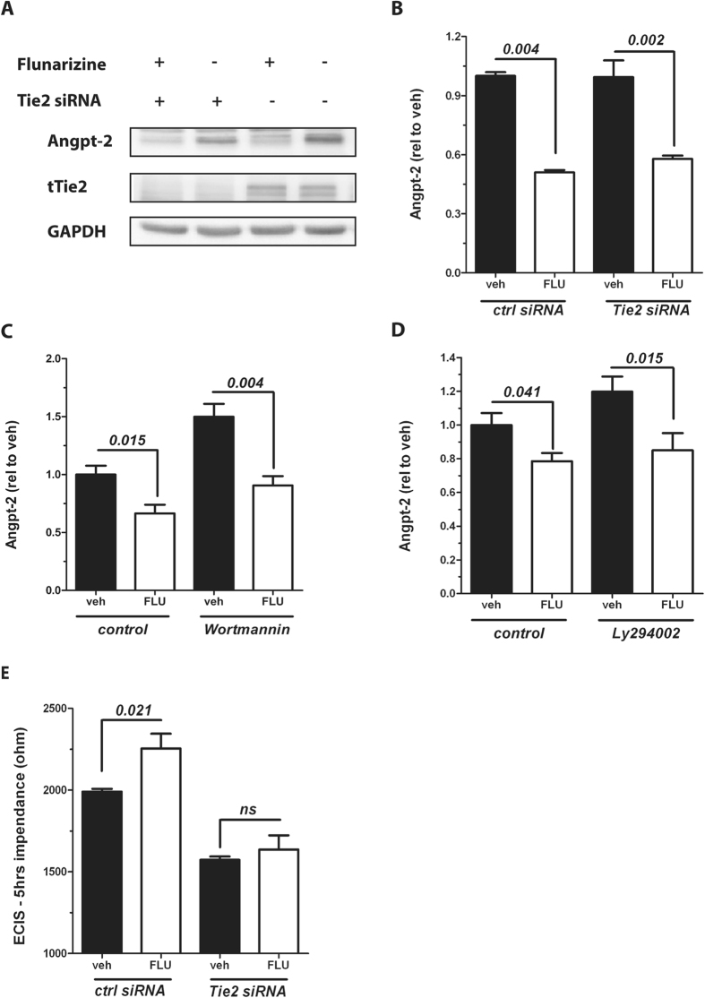Flunarizine does not require Tie2 or downstream signalling to reduce Angpt-2. ( A ) Cropped immunoblot for Angiopoietin-2 (Angpt-2), tTie2 and GAPDH as a loading control from HUVECs transfected with control siRNA or Tie2 siRNA and stimulated with 10 μM Flunarizine (FLU) or vehicle for 24 hrs (n = 4). ( B ) HUVECs were treated with 10 μM FLU (+) or vehicle (−) for 24 hrs after transfection with Tie2 siRNA (+) or control siRNA (−) and the concentration of Angpt-2 in the supernatant was determined by ELISA (n = 5–6). Angpt-2 concentration in the supernatant of cells pretreated with ( C ) 1 μM Wortmannin or control for 1 h or with ( D ) 50 μM LY294002 for 1 h and stimulated with 10 μM FLU or vehicle for 12 hrs was measured by enzyme-linked immunosorbent assay (ELISA) (n = 6). ( E ) Real-time transendothelial electrical impedance from HUVECs 24 hrs after transfection with Tie2 siRNA or control siRNA, who were pretreated with 10 μM Flunarizine (FLU) or vehicle for 1 h and stimulated with 10 ng/mL TNFα, was recorded with an electric cell-substrate impedance sensing (ECIS) device (ibidi). Bar graphs represent n = 8 measurements per conditions after 5 hrs of TNF challenge. Columns are presented as mean ± SEM.