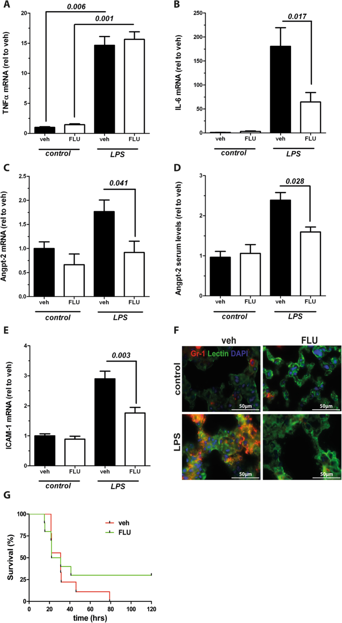 Flunarizine lowers Angiopoietin-2 (Angpt-2) and vascular inflammation in vivo. Adult male C57BL/6 J mice were pretreated daily with Flunarizine (25 mg/kg body weight (bw) p.o.) or vehicle for three days before the injection with 17.5 mg/kg bw gram-negative endotoxin (lipopolysaccharides [LPS] from Escherichia coli i.p.) or control. Expression of pulmonary mRNA and Angpt-2 serum levels were measured 12 h after LPS (n = 3–9). ( A ) Real-time polymerase chain reaction (RT-PCR) from lung homogenates for tumor necrosis factor α (TNFα). ( B ) RT-PCR from lung homogenates for Interleukin-6 (IL-6). (C) RT-PCR from lung homogenates for Angpt-2. ( D ) Angpt-2 serum levels were quantified by enzyme-linked immunosorbent assay (ELISA). ( E ) RT-PCR from lung homogenates for intercellular adhesion molecule-1 (ICAM-1). ( F ) Immunohistochemistry from murine lungs for Gr-1 (red), endothelial-specific lectin (green) and nuclear staining (4′,6-diamidino-2-phenylindole, blue) ( G ) Kaplan Meier Survival after LPS administration (20 mg/kg bw) in mice that were pretreated with 25 mg/kg bw FLU or vehicle for three days once a day (n = 8–10, p = 0.408). Columns are presented as mean ± SEM.